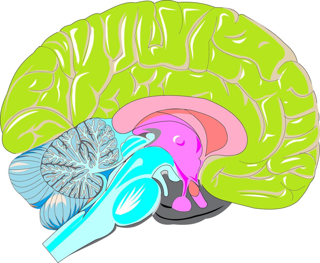 brain-srossign-pixabay